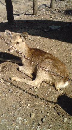 鹿死にかけ100224_1258~01.jpg